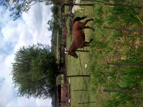shetland ponie merrie