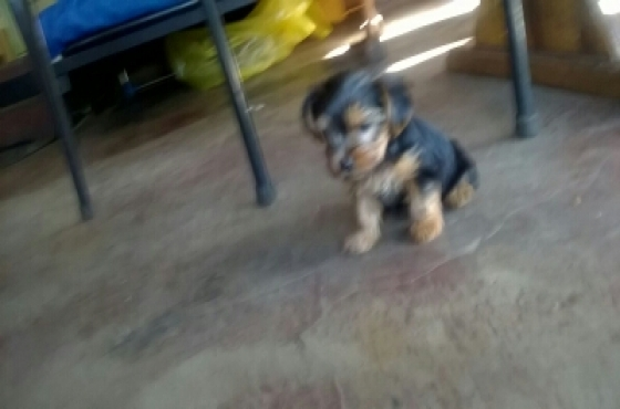 Yorkies puppies small breed