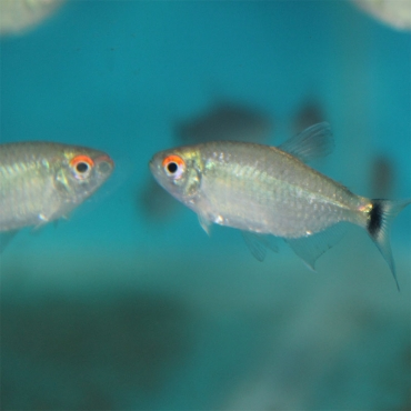 Red Eye Tetra - 4cm