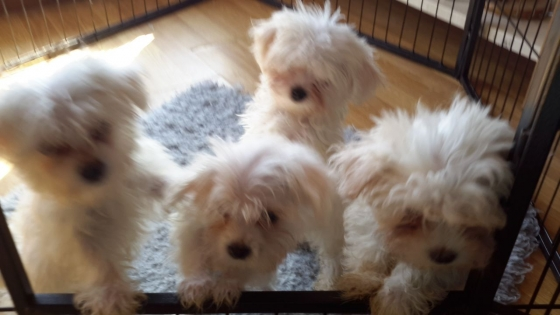 Three Beautiful Pure Bred Pedigree Maltese Puppies Ready To Go!!