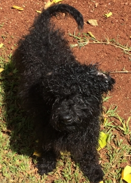 Miniature French poodle puppies