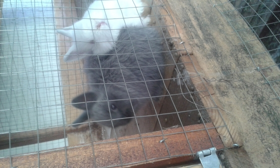 Jersey woolie and Netherland dwarf rabbits