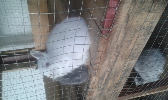 Jersey woolie and Netherland dwarf rabbits