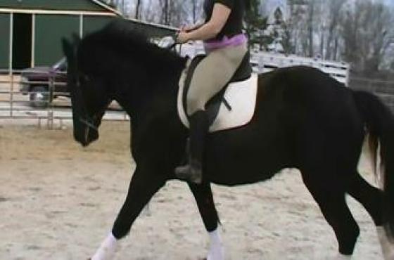 Gelding Friesian Horse