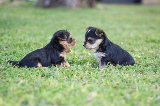 Morkie puppies te koop (Yorkie x Maltese)