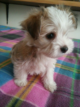 Adorable Morkie (Maltese x Yorkie) Puppies for Sale! | Junk Mail