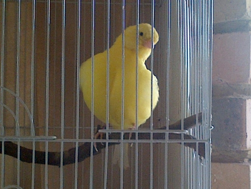Border Fancy Canary Male