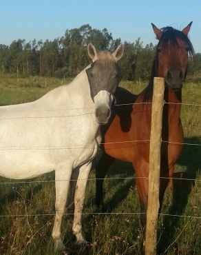 Anglo Arab x mare for sale