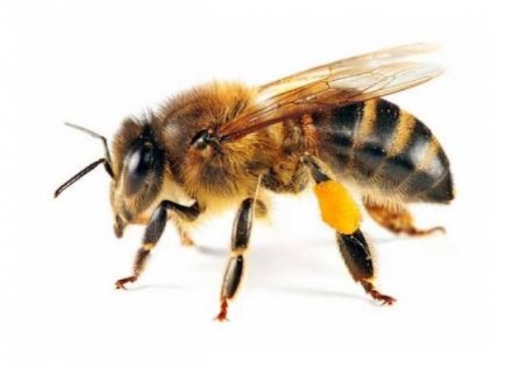 Bee Removal East Rand