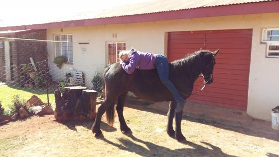 Purebred tame Registered Frisian mare for sale