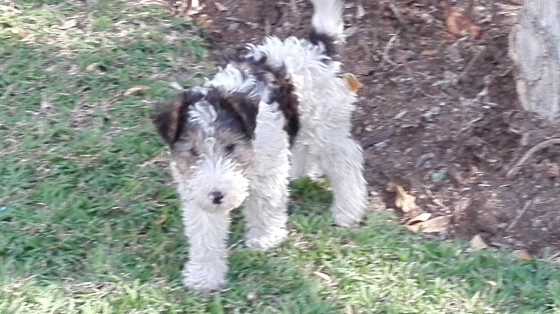 Wire Haired Fox Terrier Puppies Junk Mail
