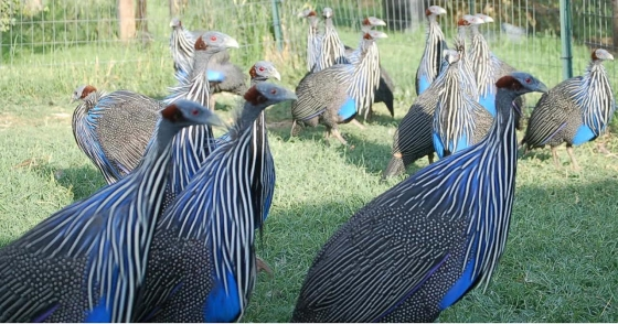 12 months Old  Vulturine Guineafowls For Sale.