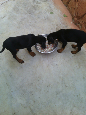 Big type Doberman Puppies