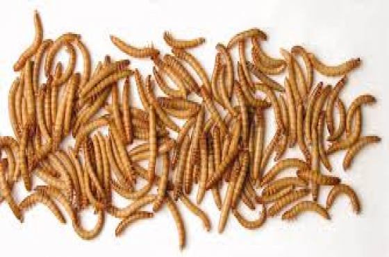 Mealworms Superworms