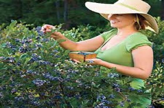 Berry Plants Blueberries Blackberry Goji Berry Raspberries