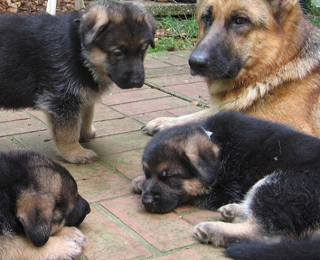 Strong and Healthy German Shepherd Puppies.