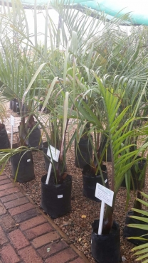Palms, Cycas and Tropical plants