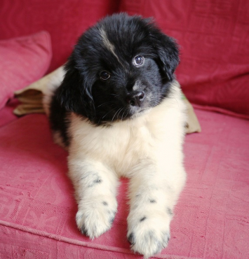 8 weeks old Newfoundland Puppies for sale