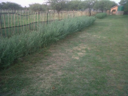 Tree Lucerne seed for sale