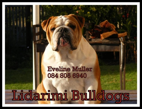 Pure Bred Kusa Registered English Bulldogs