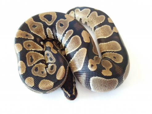 66% Possible Het VPI Axanthic Ball Python Female