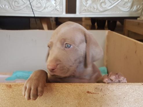 Beautiful purebred weimaraner puppies