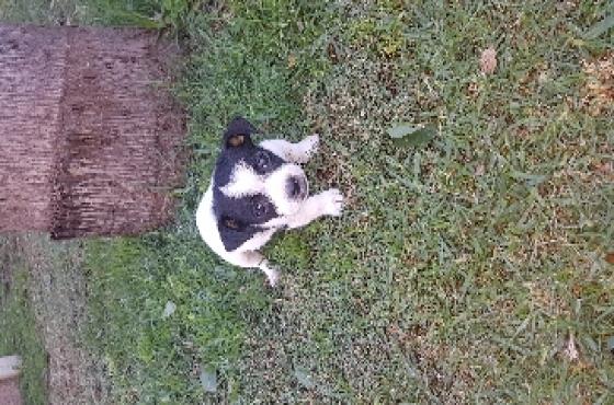 foxterrier pups for sale