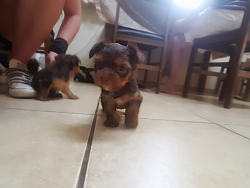 Chocolate brown teacup yorkie female