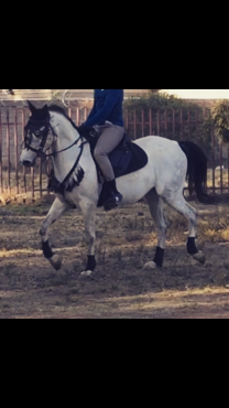 Arab cross gelding