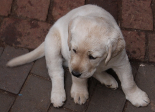 Pure Bred Labrador Puppies for sale. Vaccinated, dewormed and vet checked.