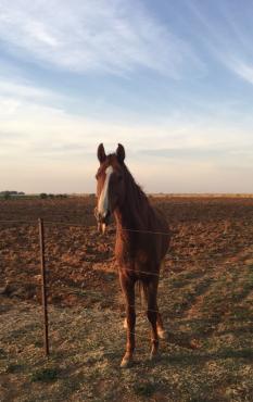 American saddlebred mare