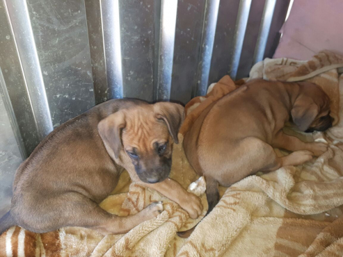 Rhodesian Ridge-back Pups