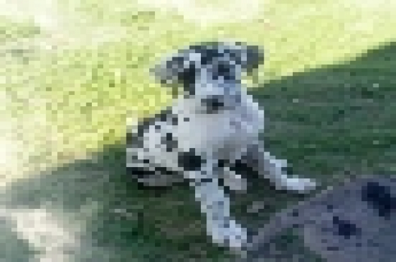 Great Dane Harlequin puppies for sale