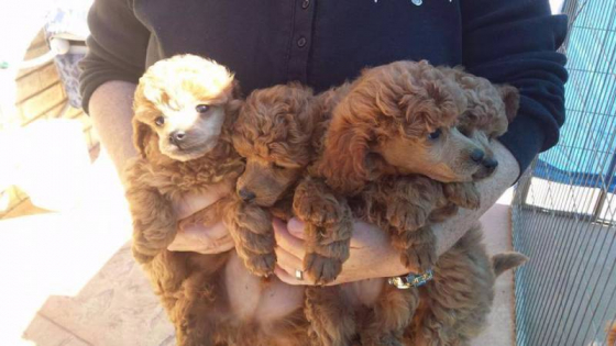 Toy Poodle Purebred puppies 8 weeks old 3 Males and 1 Female