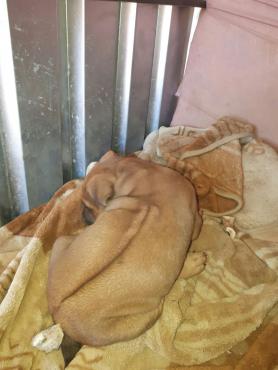 Rhodesian Ridge-back Pups