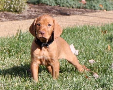 Adorable Hungarian vizsla puppies ready for sale