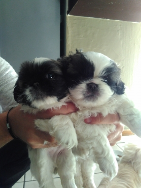 2 x Adorable cute pekenise male puppies