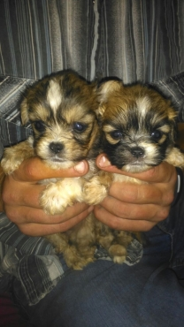 Morkies and Pekengese puppies for sale