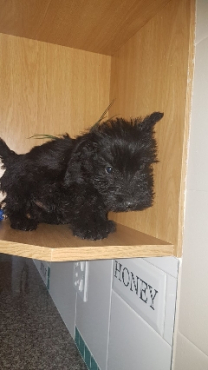scottie pups