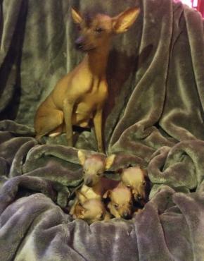 Chinese crest puppys