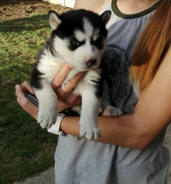 Pure Bred Siberian Husky Pup female