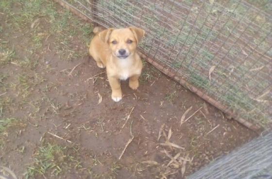 Miniature Pinscher x jack russell puppy