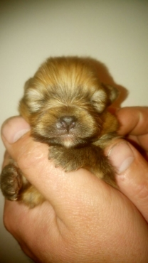 Pure bred extra miniature toypom male puppies