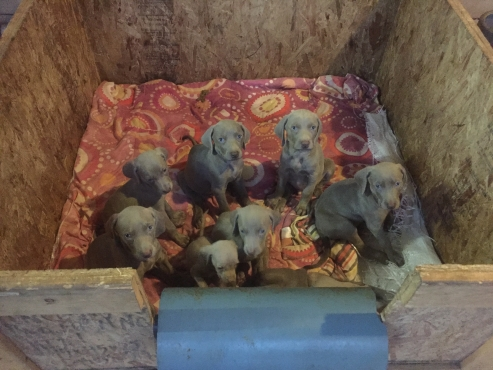 Weimaraner puppy's for sale