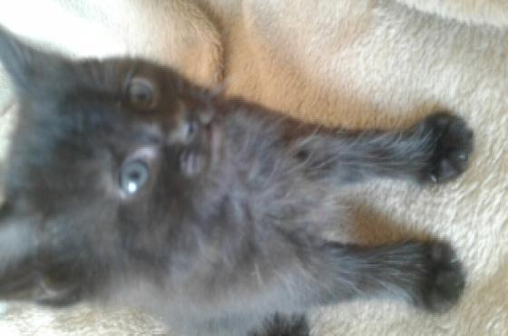 kittens Ragdolls black