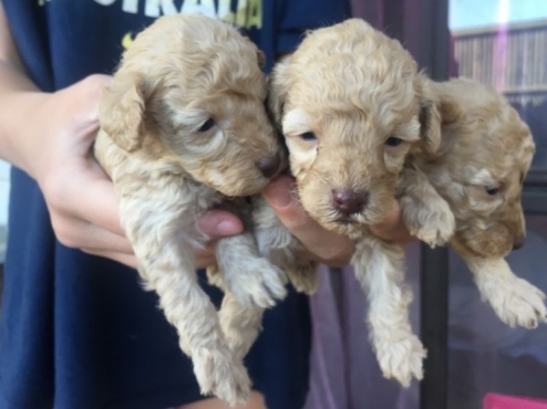 Toy Poodle Puppies- R2800 (Purebred/Registered)