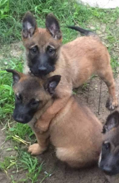 Belgian Malinois PUPPIES with papers