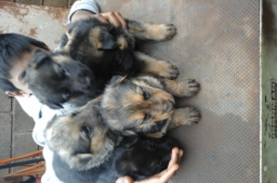 German shepherd x chow chow pups