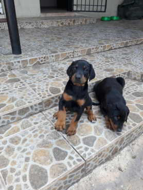 Dobermann Pups