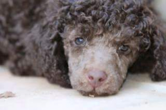 Kusa reg.Miniature French Poodle Puppies